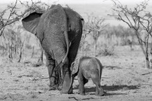 Mother African Elephant And Small Calf Walking Away From Camera. Black And White Edit