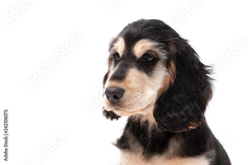 Cadres-photo bureau Chien Adorable 3 month old cocker spaniel puppy isolated on white background