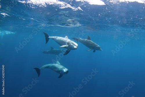 Valokuva Common bottlenose dolphin, tursiops truncatus,  Atlantic bottlenose dolphin