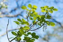 Poison Oak Leaves Identificati...