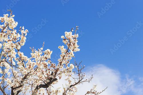 梅の木、梅の花、紅梅