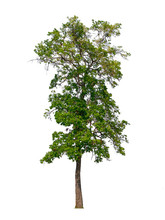 Trees Isolated On White Background With Clipping Paths For Garden Design , Architectural Design , Decoration Work , Used With Natural Articles Both On Print And Website.
