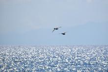 光る春の海を飛ぶカモ