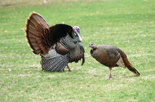 Male Turkey And Female Turkey ...