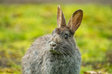 Close-up Portrait Of A Cute Grey Rabbit Sitting On The Green Grass Field After Rain In The Park With Its Eye Staring At You