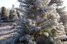 Frosty Spiderweb In Winter