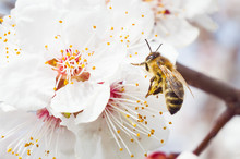 Bee Pollens The Flower Of Frui...