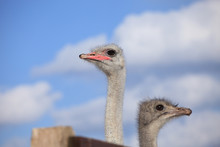 Two Ostrich Heads On A Background Of Blue Sky And White Clouds