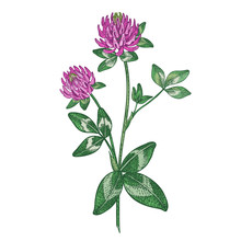 Medical Plant Red Clover. Colo...