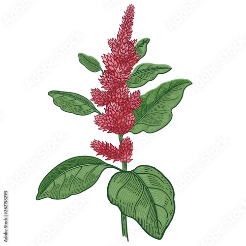 Medical plant amaranth. Color Vector illustration. Wallpaper Mural