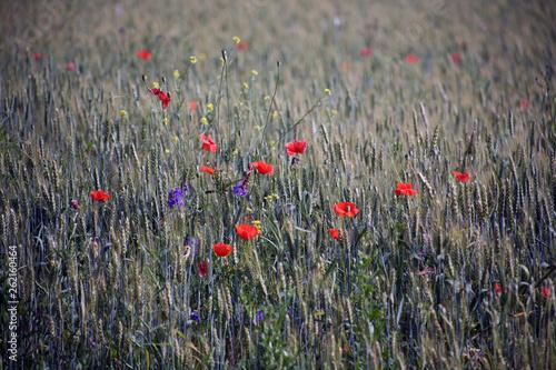 Staande foto Rood, zwart, wit Landscape. Poppy on the field where oats grow. Wallpaper