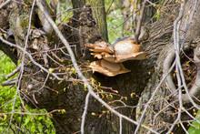 Large Mushroom Polyporus Squamosus Grows On A Lime Tree