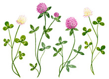 Set Of Watercolor Red And White Clover Flowers With Leaves. Botanical Healing Herbs Illustration Isolated On White Background