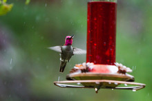 Hummingbird Floating Next To R...