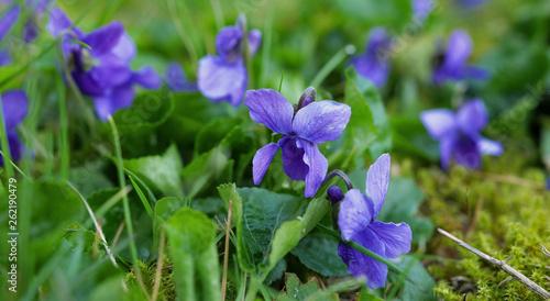violets blue pruple wildflowers in the meadow grass garden spring flower close detail background purple violet flower