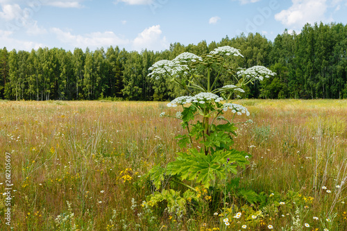Valokuva  Cow parsnip blooms in summer in a meadow, Heracleum Sosnowskyi