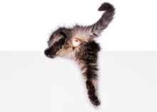 Maine Coon Kitten With Sign Or Banner. Funny Pet Cat Showing Placard With Space For Text. Beautiful Domestic Kitty With Blank Board, Isolated On White Background.