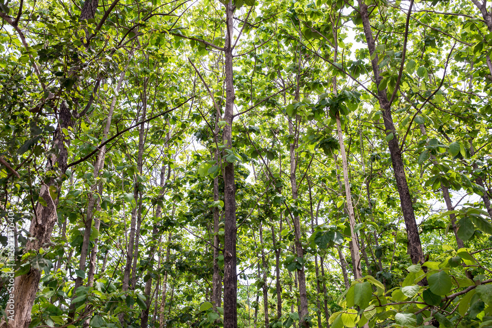 Teak forests to the environment . Teak leaf on tree low angle view . Forest Teak tree agricultural in plantation teak field plant with green leaf at countryside.