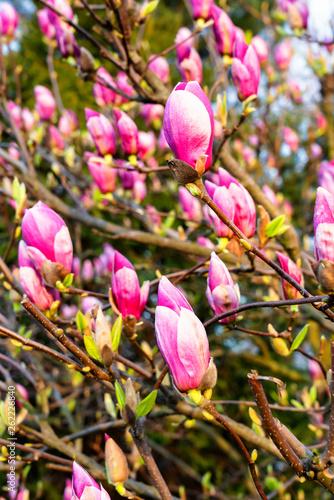 Fototapeta Macro of a saucer magnolia - Magnolia soulangeana obraz na płótnie
