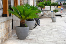 Palm Trees In Gray Containers. Pots With Large Green Palm Trees Stands At Entrance To A Private Cafe. Design Of Exterior Of Building. Cycas Revoluta.
