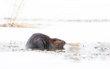 North American Beaver (Castor Canadensis) Sitting On An Icy Pond Eating Wood In Early Spring In Canada