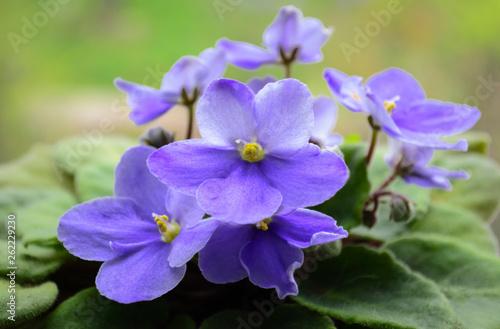 delicate flowers of violet violet close-up