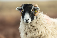 Swaledale Ewe In Winter.  Facing Forward.  Blurred Background. Landscape, Horizontal.