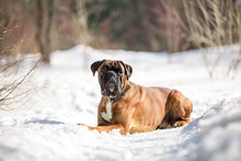 Dog Breed Boxer In The Winter Forest