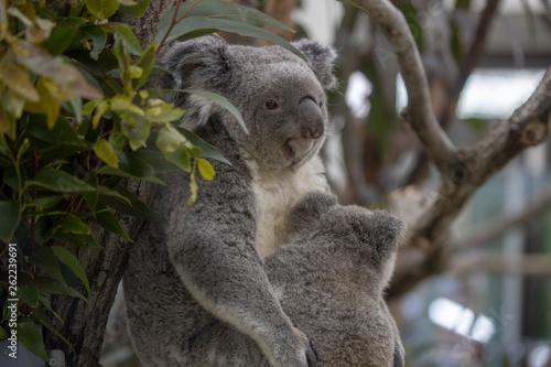 Keuken foto achterwand Koala コアラ