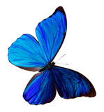 blue  butterfly, isolated on white background with clipping path, Morpho didus