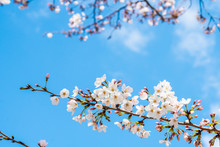 Cherry Blossom In Spring For B...