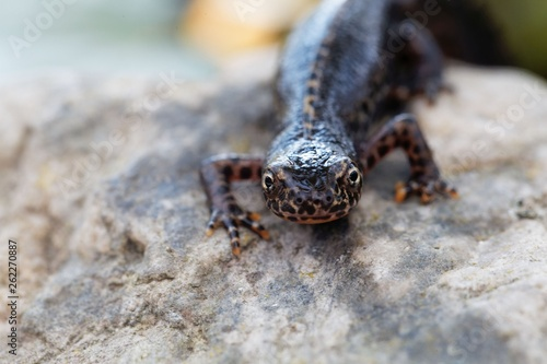 Fototapeta Head of a  alpine newt, Ichthyosaura alpestris