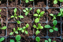 Seedlings Growing From Seed In...
