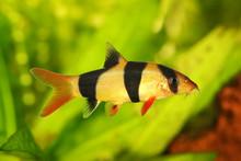 Clown Loach Tiger Botia Aquarium Fish Catfish Botia Macracanthus
