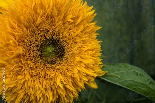 Fotografiet  Sunflower, orange flowers