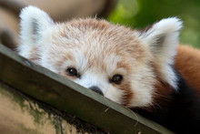 Cute Red Panda Portrait