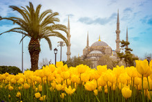 Blue Mosque (Sultan Ahmet Camii), Istanbul, Turkey. Palm Tree And Yellow Tulips On The First Stage In A Beautiful Spring Day.