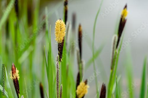 Fotografie, Obraz Flowering sedge Carex nigra (Carex melanostachya) Black or ordinary sedge on the shore of a garden pond