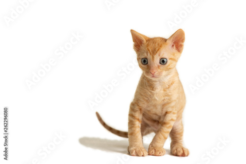 Fotografie, Obraz  Adorable curly-haired kitten Ural Rex sits and looks forward, isolated on a white background
