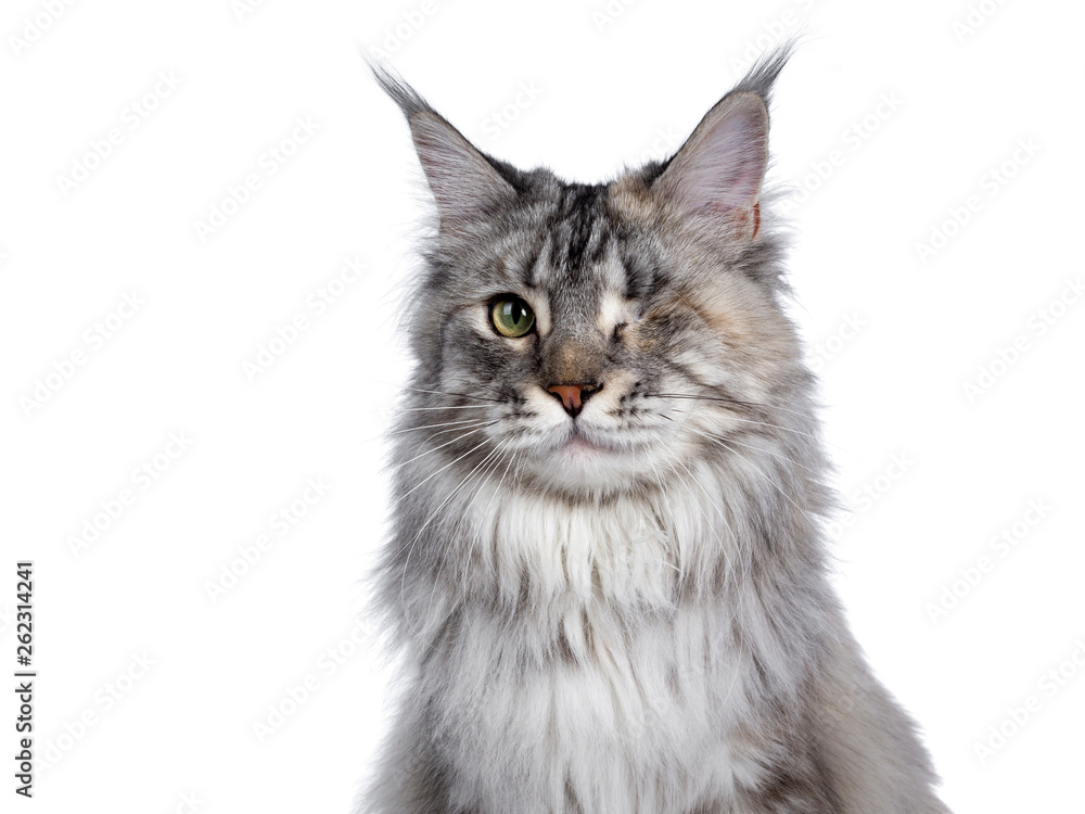 Fototapety, obrazy: Head shot of very pretty silver tortie young adult Maine Coon cat, sitting side ways facing front. Looking at camera with one green eye. Isolated on white background.