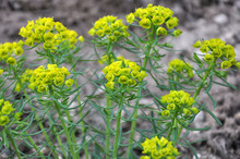 In The Wild, Grows And Blooms Euphorbia Virgata