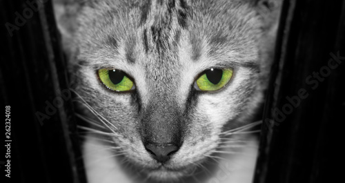 Canvas Prints Panther kitten looking at camera with green eyes