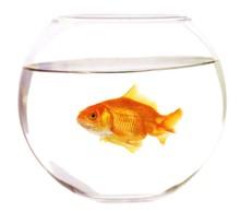Gold Fish In Aquarium On A Whi...