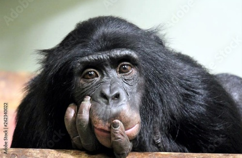 Leinwand Poster chimp chimpanzee monkey ape , chimp looking sad (pan troglodyte chimp or common