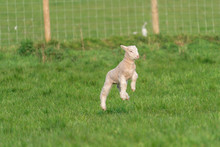 Lamb Playing.