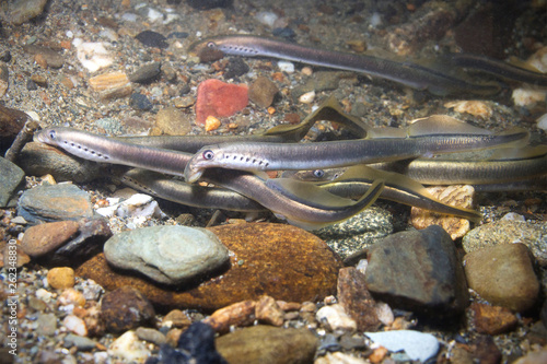 The European brook lamprey (Lampetra planeri) a frashwater species that exclusively inhabits freshwater environments Poster Mural XXL