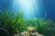Neptune Seagrass Posidonia Oceanica Underwater With Natural Sunlight In Mediterranean Sea, France