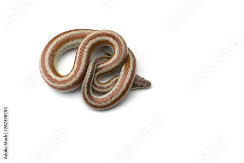 Photo The rosy boa isolated on white background