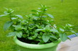 fresh mint in pot
