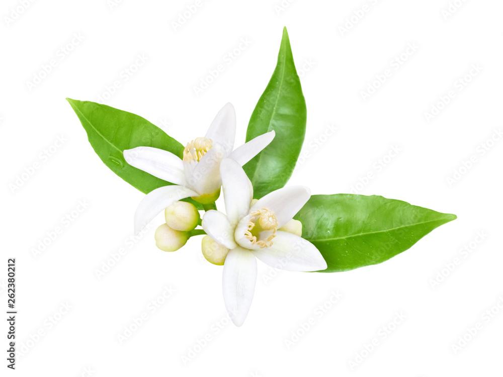 Fototapety, obrazy: Neroli blossom isolated on white